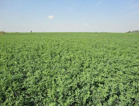 Campo de alfalfa