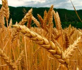 Resultado de imagen de trigo omg