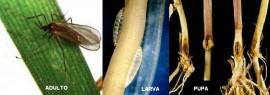 Mosquito del trigo (Mayetiola destructor)