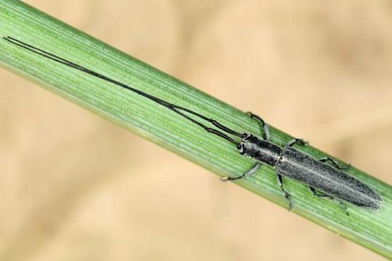 Adulto de Calamobius filum