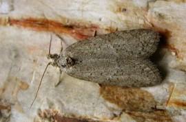 Adulto de Cnephasia puminaca