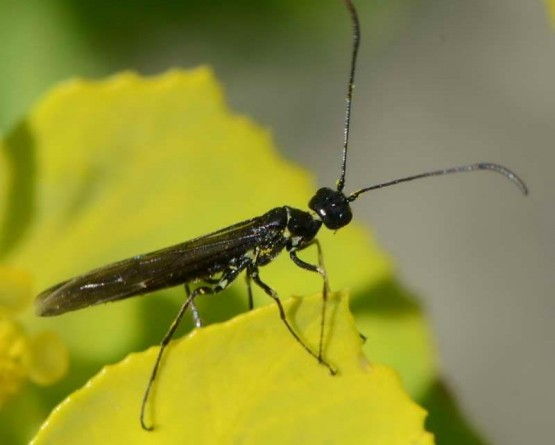 Adulto de Trachelus tabidus
