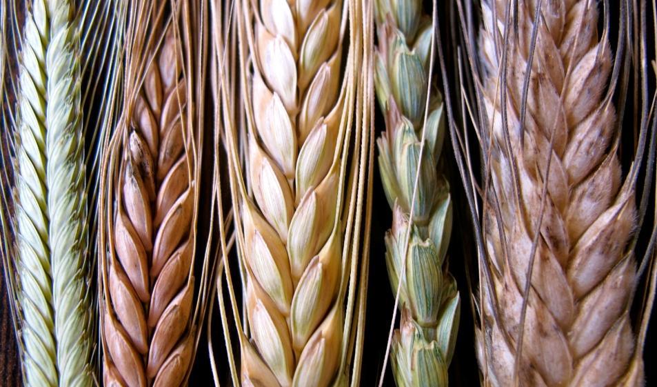 grupo borau diferencias entre trigo blando y trigo duro