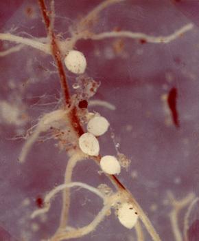 substanța este nemathelminthes biologic