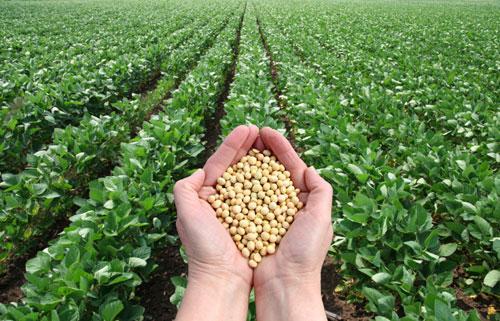 Plantas y semillas de soja