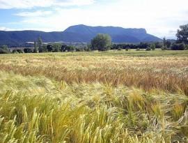 Campo trigo Jacetania