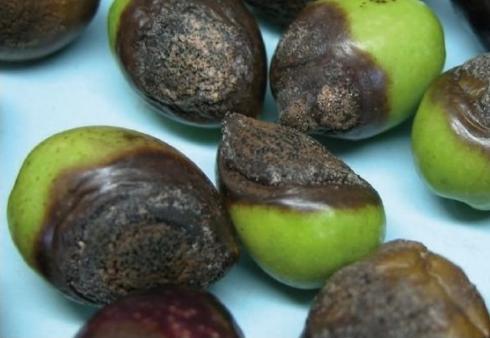 Aceitunas afectadas por antracnosis o aceituna jabonosa