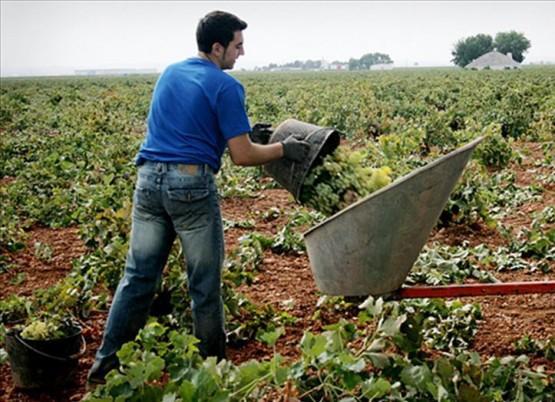 Joven agricultor vendimiando