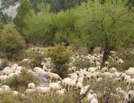 Pastos leñosos