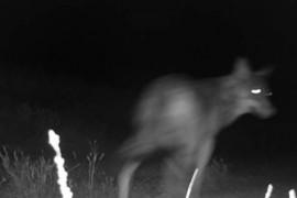 Lobo captado en Leciñena