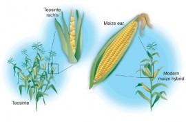 Diferencias entre teosinte y maíz