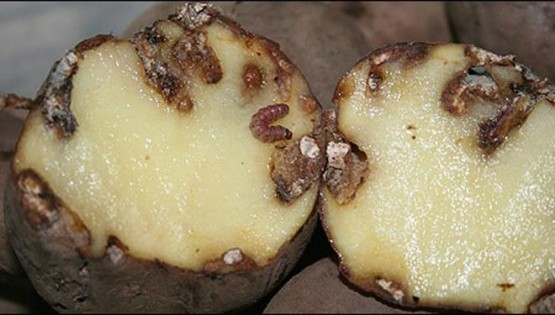 Daños producidos por polilla guatemalteca (Tecia solanivora)