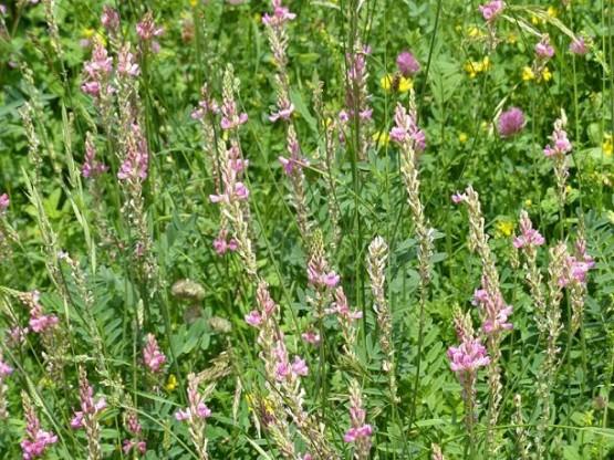 Esparceta o pipirigallo (Onobrychis viciifolia)