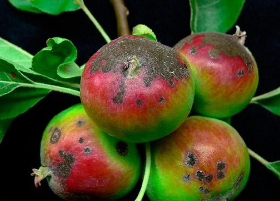Moteado en manzanas