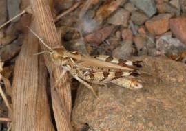 Langosta (Dociostaurus maroccanus)